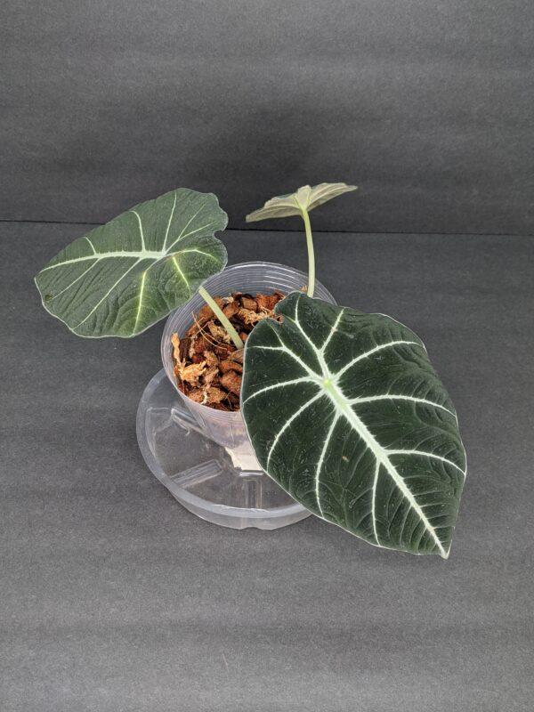 Alocasia Black Velvet, Plantly
