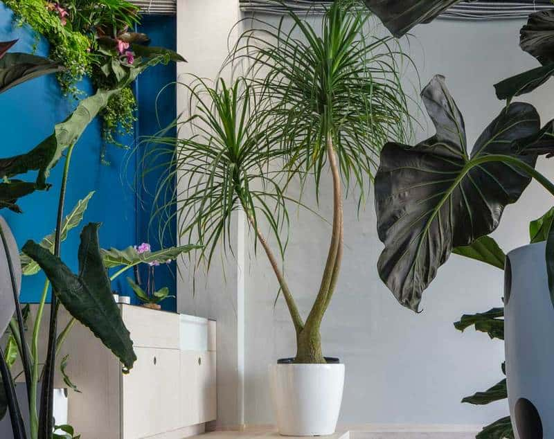 Ponytail palm indoor succulents