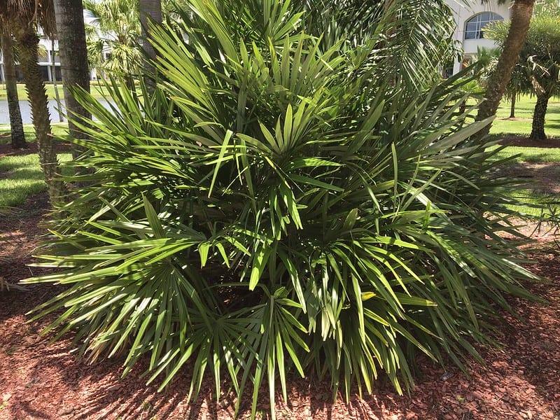 Needle Palm Tree (Rhapidophyllum hystrix) palms for cold climates