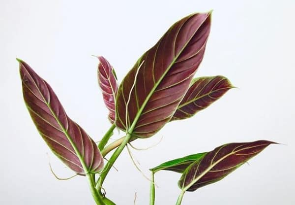 Philodendron subhastatum (wv007), Plantly
