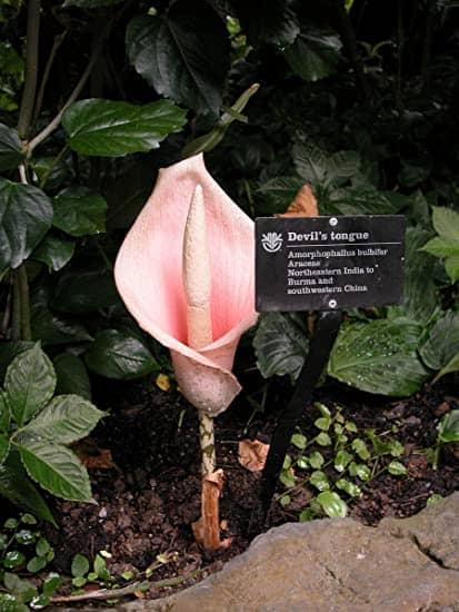 Pink Voodoo Lily (Bulb only) – Amorphophallus Bulbifer, Plantly