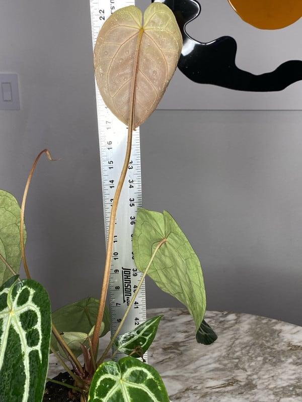 Dr. Block – Anthurium Crystallinum x Magnificum hybrid, Plantly