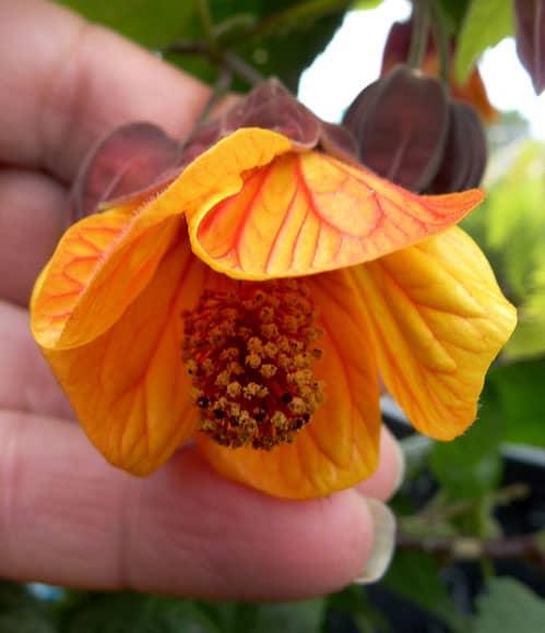 """Brazilian Bellflower — Abutilon Megapotamicum """"Orange Hot Lava"""", Plantly"""
