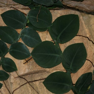 Rhaphidophora