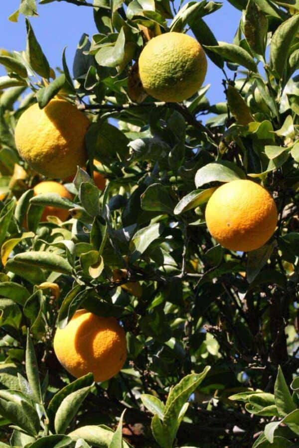 Citradia – Cold Hardy Citrus (Cross between Seville Orange & Trifoliate Orange) – Hardy to 0F (Zone 7a), Plantly