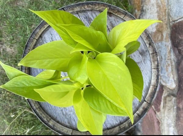 "Neon Pothos 4"", Plantly"