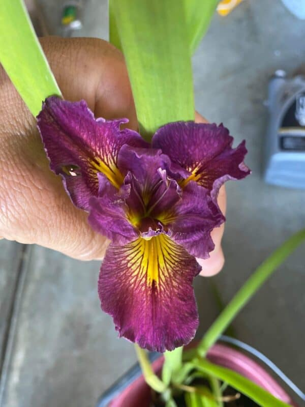 Iris 'Cajun Love', Plantly