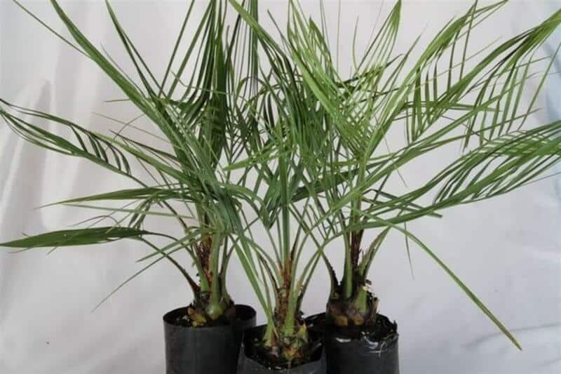 Pindo Palm Tree (Butia capitata) Palms For Cold Climates