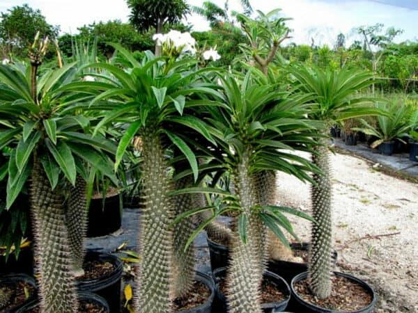 Madagascar Palm – 6″ tall (Pachypodium lamerei), Plantly