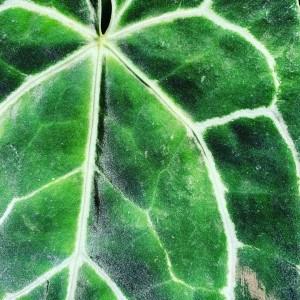 Rare-Anthurium-plants-available-online-cheap