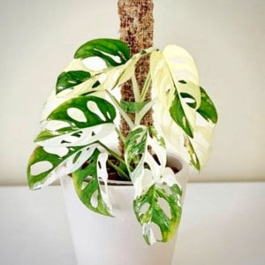 Rare Monstera Obliqua Variegated available on Plantly