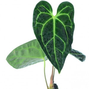Anthurium Regale For Sale at Plantly 2021