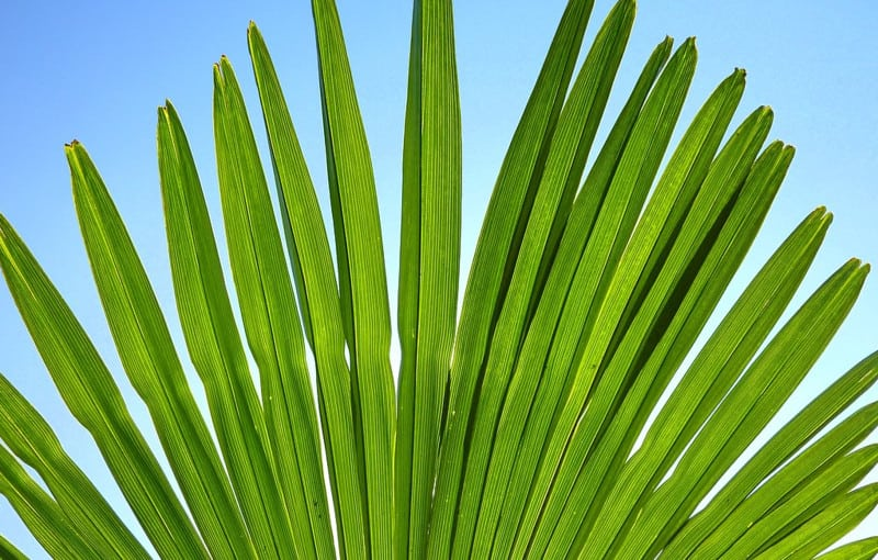 Windmill Palm (Trachycarpus Fortunei) Palms For Cold Climates