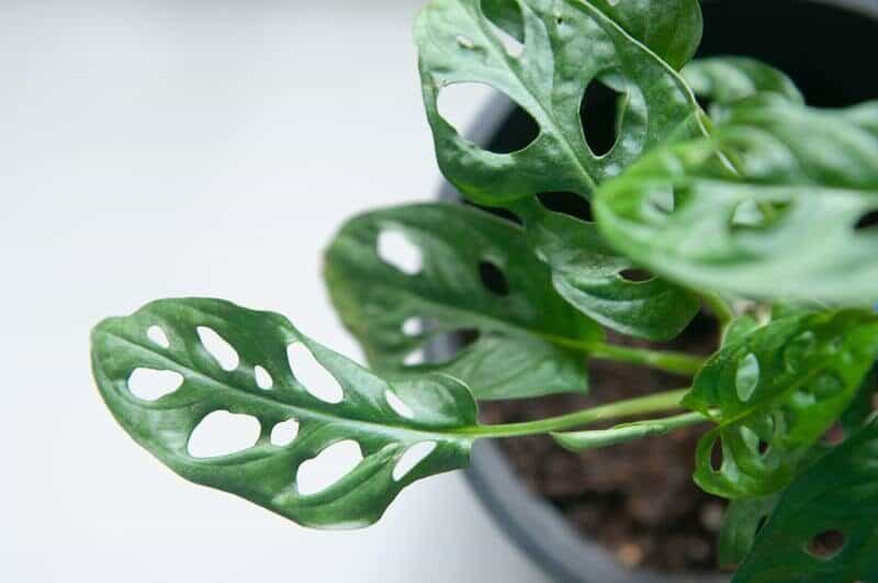 Aroid Plants Care Tips