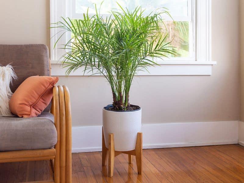 Sylvester Date Palm (Phoenix Sylvestris)