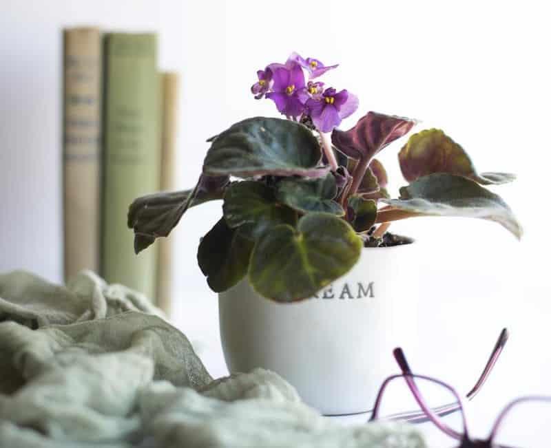 African Violets Low Maintenance Plants