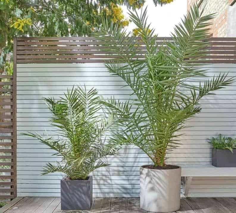 Canary Palm (Phoenix Canariensis) Palms For Cold Climates
