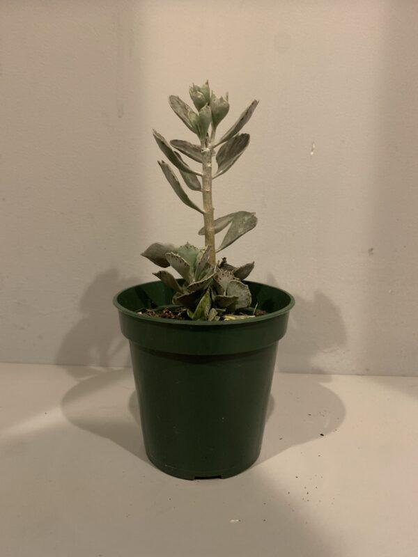 Kalanchoe Rhombopilosa, Plantly