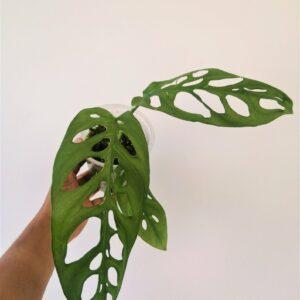 Monstera-Esqueleto-Plantly