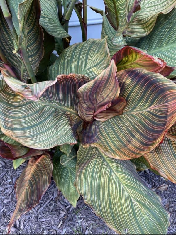 Canna Phasion, Plantly