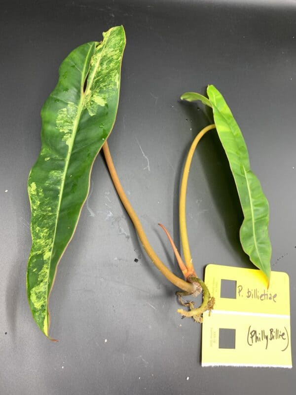 Philodendron billietiae variegated, Plantly