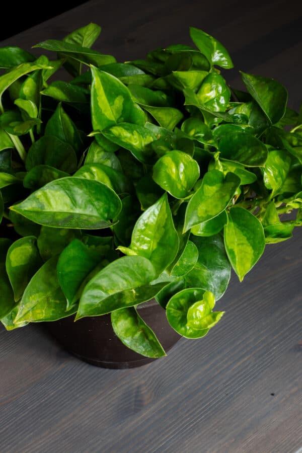Global Green Pothos Epipremnum Aureum, Plantly