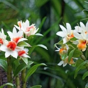 Dendrobium For Sale Online