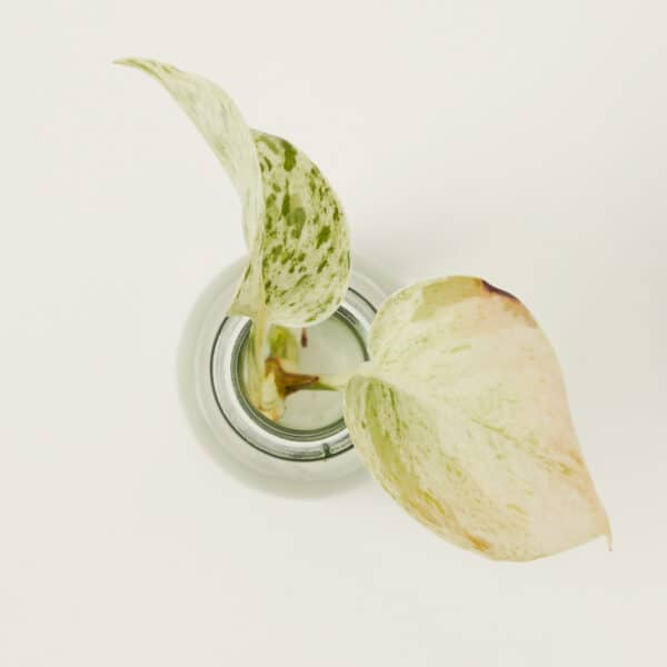 Snow Queen Pothos Devil's Ivy Variegated Epipremnum Cutting, Plantly