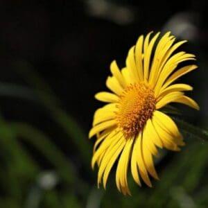 Argyranthemum For Sale Online