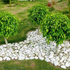 Ficus For Sale Online