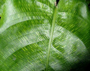 Calathea Musaica Plant Care