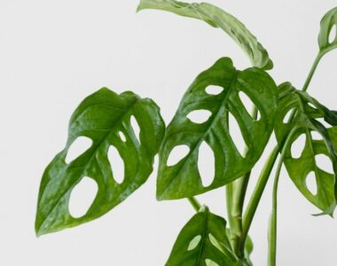 Monstera Obliqua Plant Care