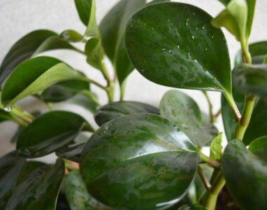 Peperomia Obtusifolia Plant Care