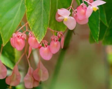 Awing Begonia Plant