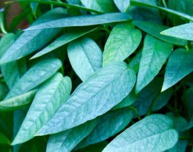 Cebu Blue Plant Care