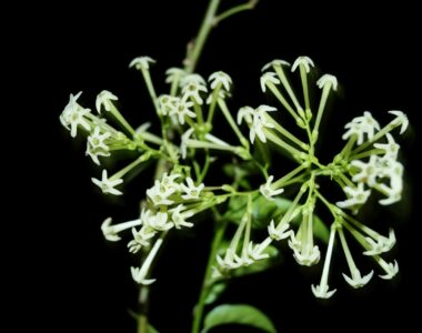 night blooming jasmine flower