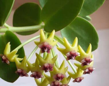 hoya cumingiana plant
