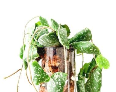 hoya imbricata plant