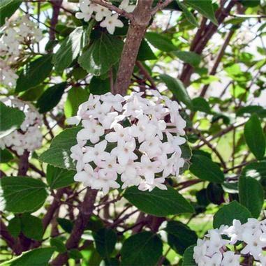Juddii Viburnum 2 1/2″ pot, Plantly