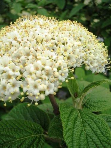 Alleghany Viburnum 2 1/2″ pot, Plantly