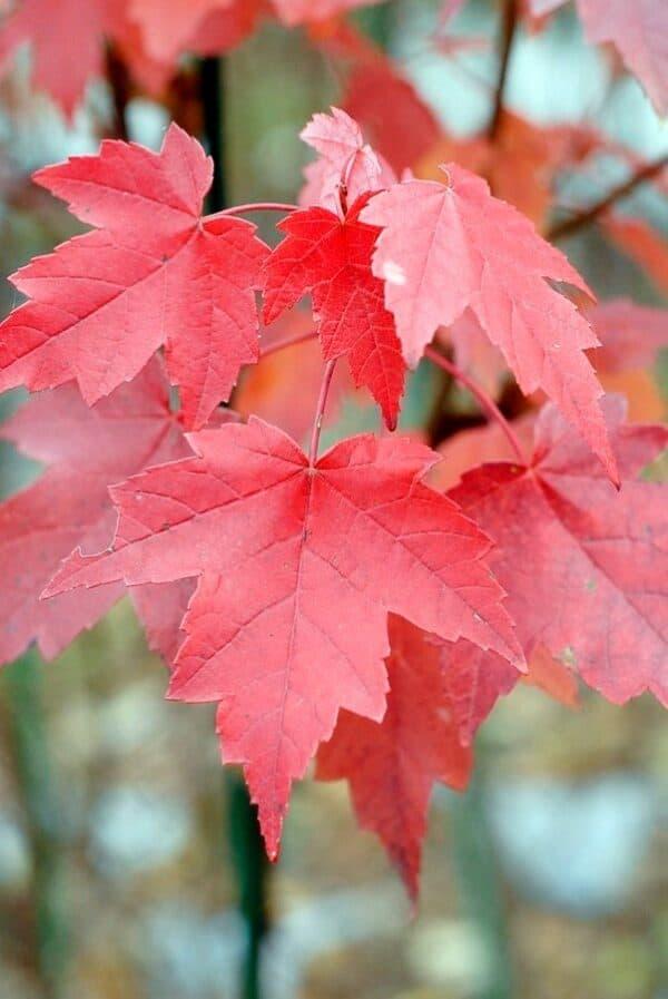 Brandywine Maple 2 1/2″ pot, Plantly
