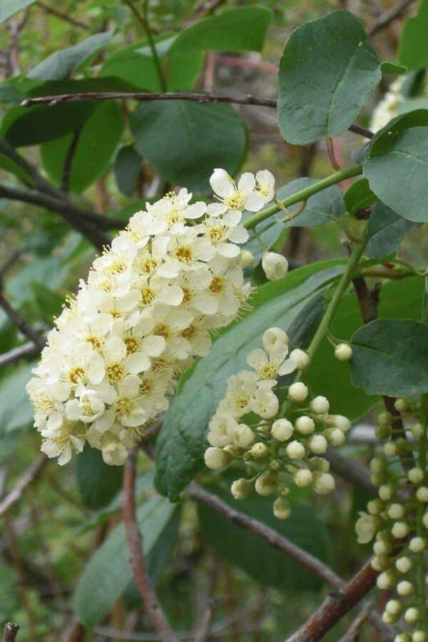 Chokecherry (Prunus Virginiana) – Canada Red for Sale, Plantly