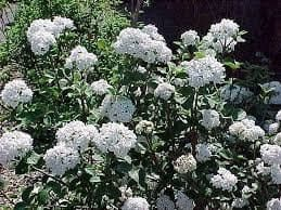 Viburnum Carlesii 2 1/2″ pot, Plantly