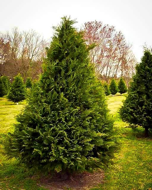 Murray Cypress 2 1/2″ pot, Plantly