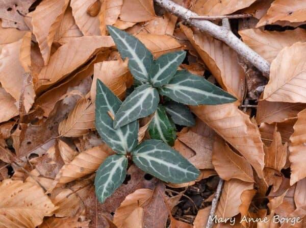 5 Wintergreen Flower bareroot, Plantly