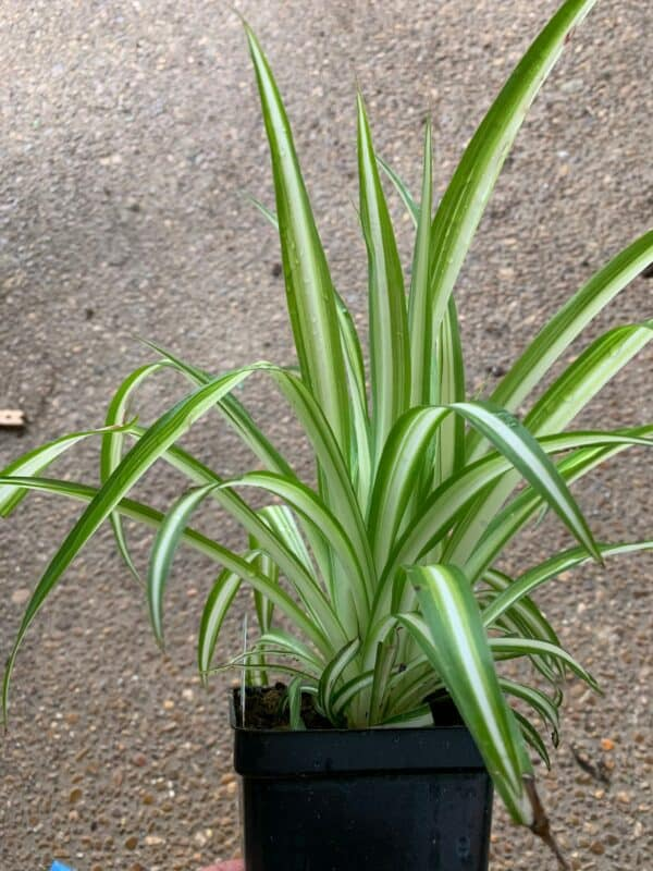 1 Spider Plant, Plantly