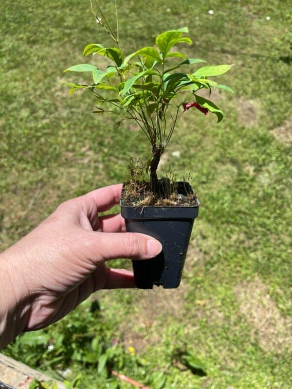 1 Nandina Firepower (Dwarf) Beautiful Fall color, Plantly