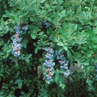 1 Tift Blueberry plant 2 1/2″ pot, Plantly