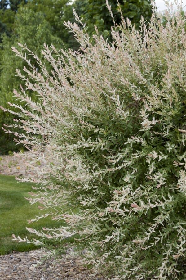 1 Nishiki Dapple Willow tree – Quart, Plantly
