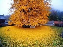 1 Ginko tree – Quart, Plantly